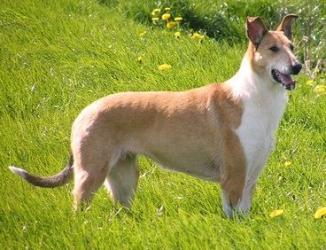 Hobbits home smooth collie pictures.